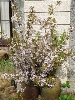 桜の季節もあと少し